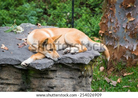 An Australian dingo laying on a rock. - stock photo