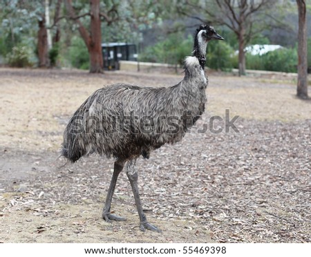 an australian emu walking along - stock photo
