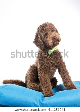 An Australian labradoodle portrait with a green bow. Image taken in a studio. - stock photo