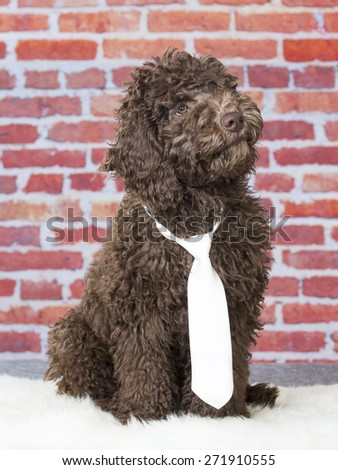 An Australian labradoodle portrait with a white tie. Image taken in a studio. - stock photo