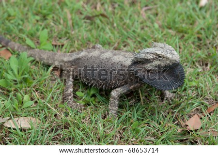 An Australian native bearded dragon lizard - stock photo
