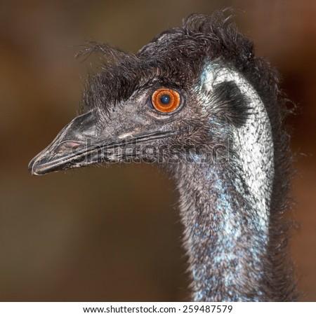 an australian native, emu, a large flightless bird. - stock photo