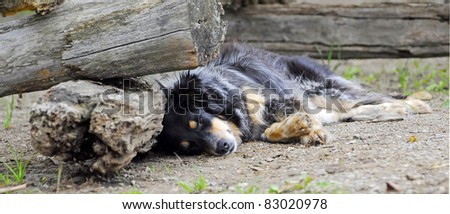 An Australian Shepherd working ranch dog takes a break on a hot summer afternoon.  Shallow depth of field.