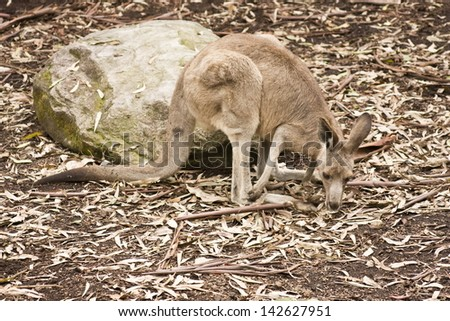 An Australian Wallaby foraging for food - stock photo