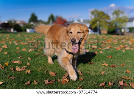 An autumn day in the park. A purebred Golden Retriever walks towards the camera in a field of green grass with fallen maple leaves.
