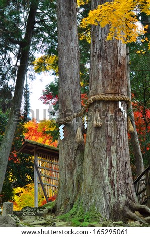 An autumn scene of a temple in Shiga Prefecture in Japan. The rope around the tree is called a shimenawa in Japanese and designates that the tree is a sacred god or kami.