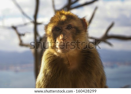 An Barbary Macaque enjoying the view on top of the rock at Gibraltar  - stock photo