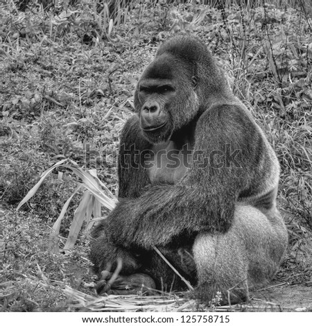 An Black and White image of a male silver back gorilla sitting holding a piece of bamboo