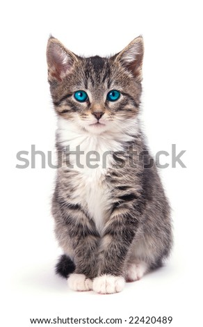An blue eyed kitten looking at you. - stock photo