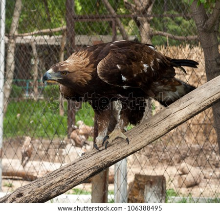 an eagle at the zoo - stock photo
