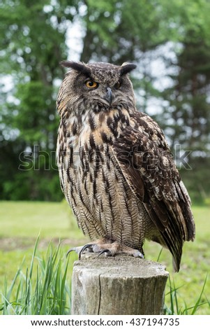 An Eagle Owl (Bubo Bubo) sitting on a fence post.