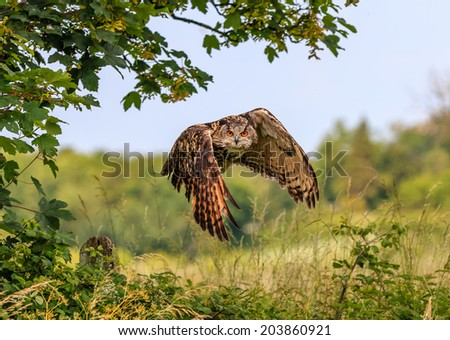 An Eagle Owl flies low over a hedgerow in a rural area - stock photo