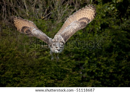 Eagle Owl Flight Showing Magnificent Win Stock Photo (Royalty Free ...