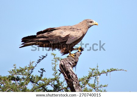 An eagle perches in a thorn tree in a South African game reserve.