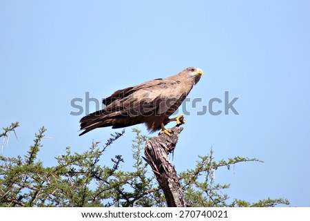 An eagle perches in a thorn tree in a South African game reserve. - stock photo