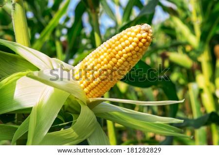 An ear of corn field - stock photo