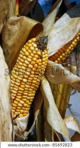 an ear of corn on a stalk - stock photo