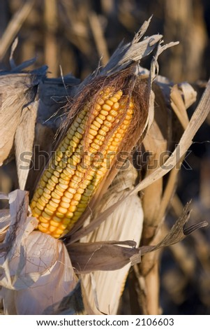 An ear of feed corn ready for harvest - stock photo