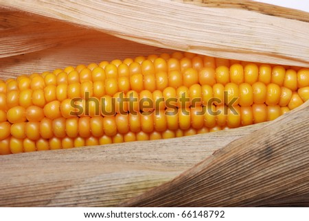 An ear of ripe corn