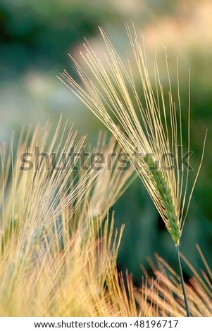 An ear of wheat in the field in the light of the rising sun. - stock photo
