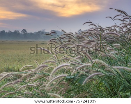 An early morning shot of grass stems near a rice field at sunrise in Thailand