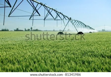 An early morning view of a wheat  field irrigated with a  center pivot  sprinkler system. - stock photo
