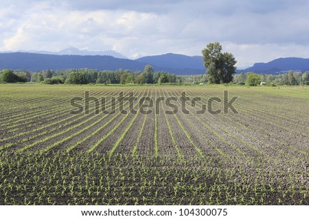 An early spring crop of corn/Early Spring Corn Field/Agricultural land begins to show promise of a successful season - stock photo