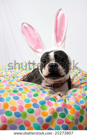 An Easter photo of a Boston Terrier. - stock photo