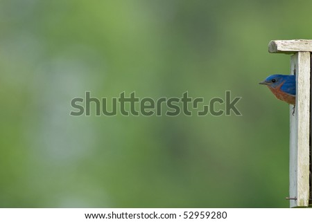 an eastern bluebird looking out from it's house on far right of image - stock photo