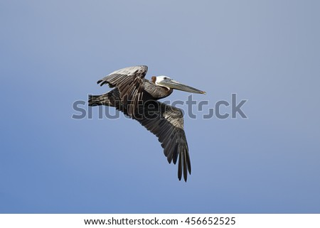 An eastern brown pelican, Pelecanus occidentalis, flying in the sky above Westhaven Cove in Westport, Washington. - stock photo