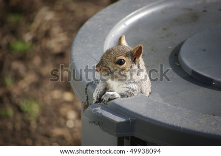 An Eastern Gray Squirrel peeks out of the hole he gnawed in the trash can - stock photo