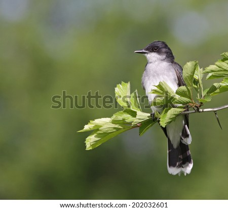 Tyrannus stock images royalty free images vectors shutterstock an eastern kingbird tyrannus tyrannus perched on a branch shot in waterloo thecheapjerseys Image collections