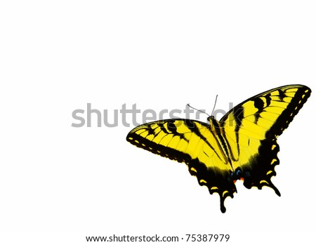 an eastern tiger swallowtail butterfly isolated on white with room for your text - stock photo