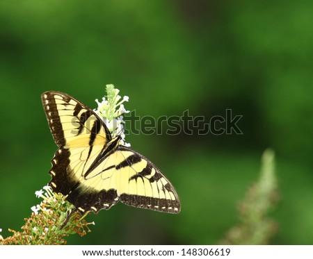 An Eastern Tiger Swallowtail Butterfly on a white Butterfly Bush (Buddleja davidii) bloom.  - stock photo