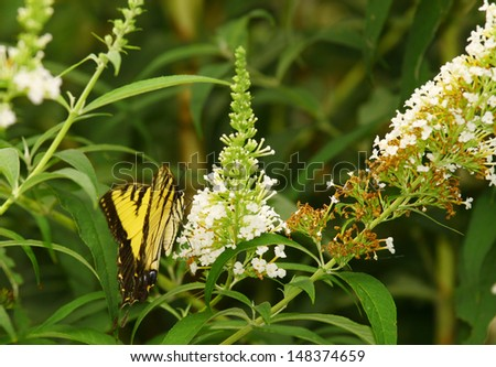 An Eastern Tiger Swallowtail Butterfly on a white Butterfly Bush (Buddleja davidii) bloom during the summer. - stock photo