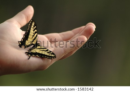 An Eastern tiger swallowtail butterfly on an outstretched hand. - stock photo