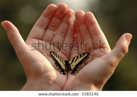 An Eastern tiger swallowtail butterfly on two outstretched hands. - stock photo
