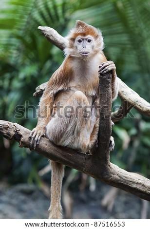 An Ebony Langur monkey (Trachypithecus auratus) poses in a tree. - stock photo