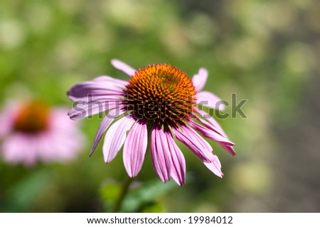 An echinacea flower in the skinner city farm of Eugene, Oregon. - stock photo