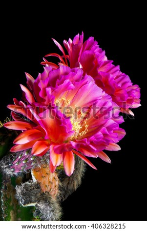 An Echinopsis Hybrid, Trichocereus Hybrid commonly known as a Flying Saucer. Two, pink, night blooming, cactus flowers.  Shriveled remains of previous blooms are below the current blooms. - stock photo