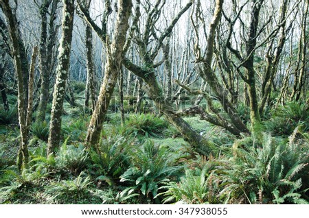 An eerie forest shot with moss covered trees and fern ground cover