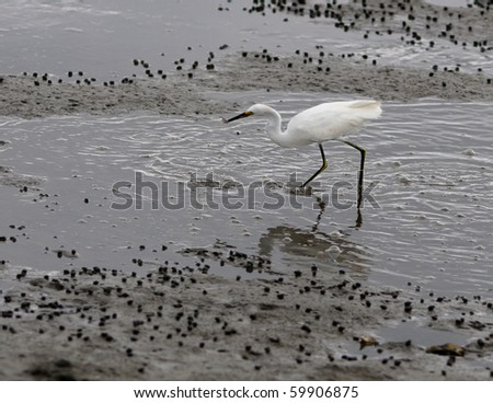 An egret catches a fish in an inlet water area - stock photo