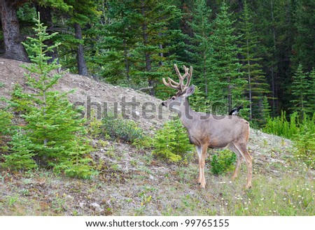 An eight-point buck, white-tail deer with velvet still on his rack.  A bird sits on his back, the two residing peacefully together in world renown Banff National Park. - stock photo