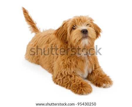 An eight week old tan colored puppy with messy fur laying down on a white background - stock photo