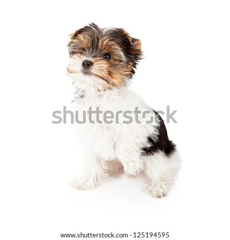 An eight week old Yorkshire Terrier puppy sitting against a white backdrop with a paw up