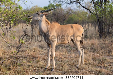An Eland antelope eating leaves from a tree in the african bush