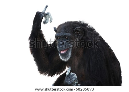An Elderly Black Chimpanzee Shows the Fingers, Isolated, White - stock photo