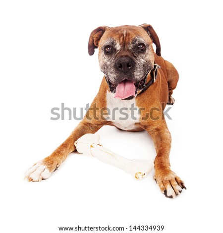 An elderly Boxer dog laying on a white background with a big rawhide bone - stock photo