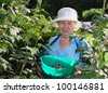 an elderly woman collects raspberries in the garden - stock photo