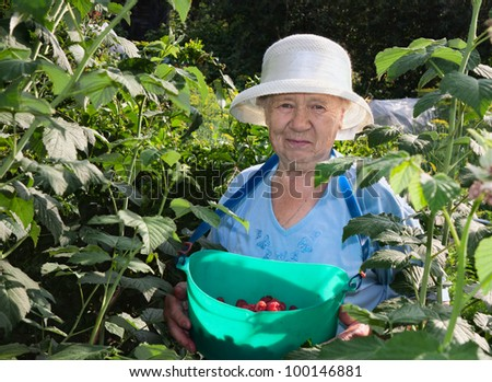 an elderly woman collects raspberries in the garden